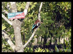 Brown Kingfishers in Sundarbans National Park