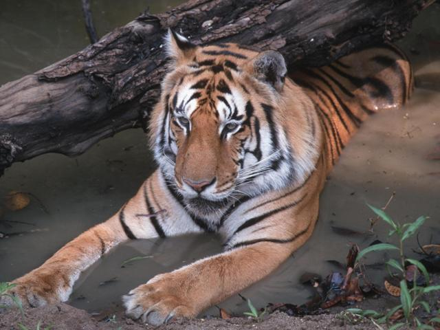 Tailormade-Tiger-Safaries-North-In