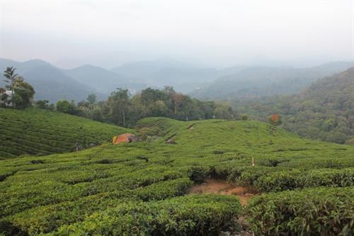 Tea Estates in Munnar