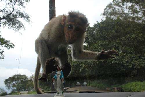 Monkey attack at Nandi Hills