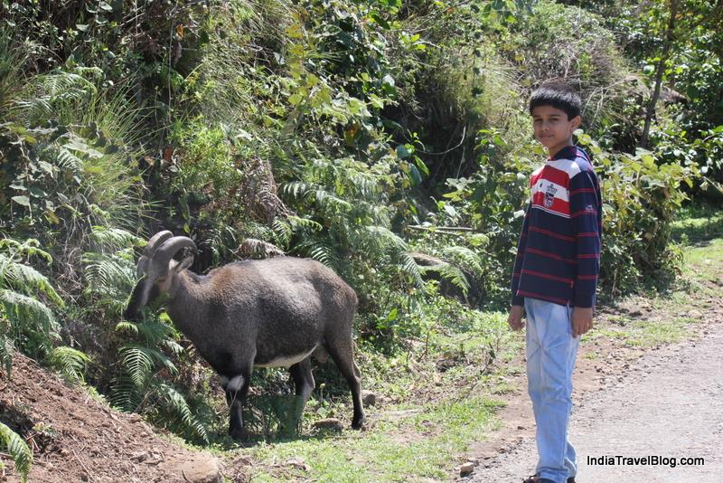My son with the goats found in the National Park