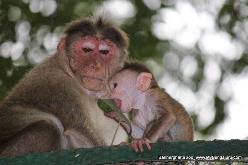 Monkey mom feeding baby