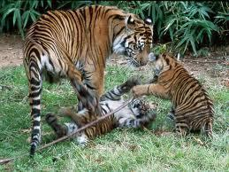 Tiger and cubs in Pench National Park