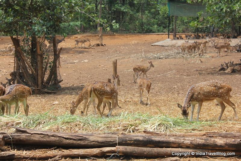 A closer look at the deers in Abhayaranyam, Kaprikkad