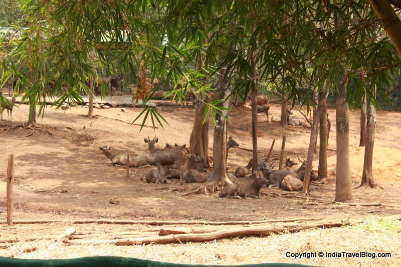 Sambar Deers taking rest in Abhayaranyam Zoo, Kaprikkad