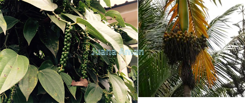 pepper and areca nut trees