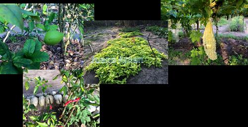 Organic farming at the plantation