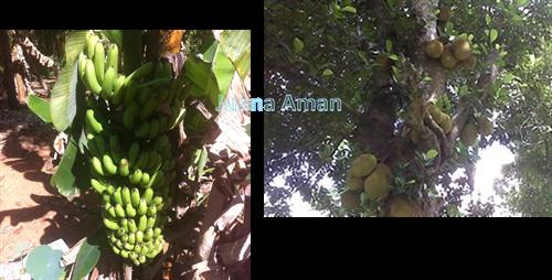 Banana & Jackfruit tree on the plantation