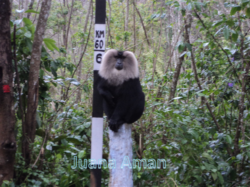 Lion-tailed macaque by the side of the hill-highway road