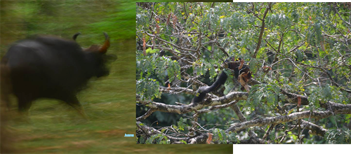 Gaur & Red Giant Squirrel