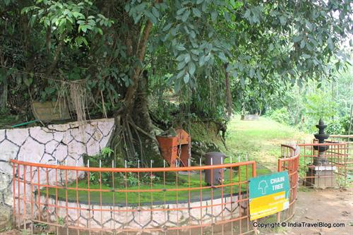 Chain tree, Wayanad