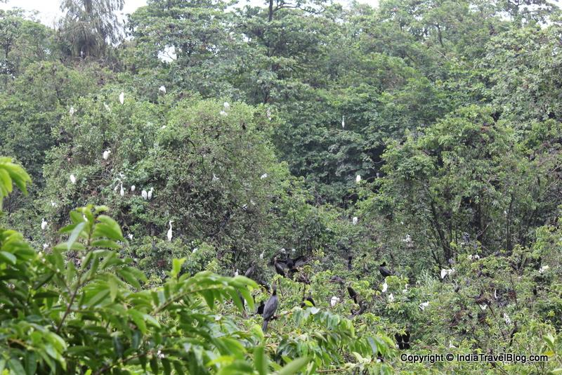 White and black birds in Kumarakom bird sanctuary