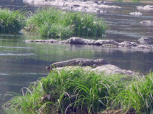 Crocodile on a rock in Cauvery river