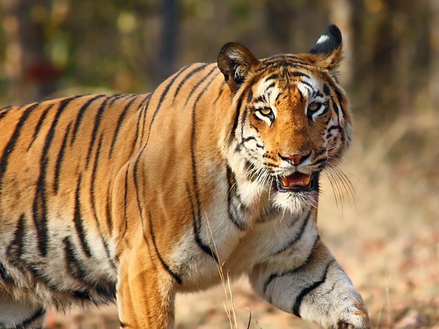 Tadoba National Park tourist place in maharastra