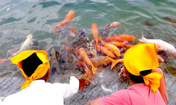 Fishes in Golden Temple