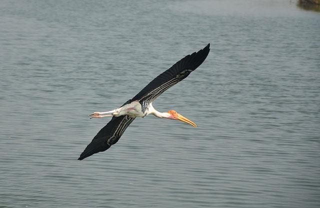 Birds-in-Vedanthangal-Bird-Sanctuary