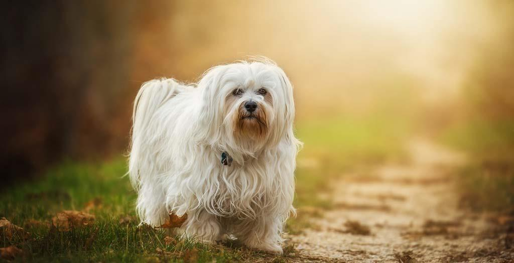 Cute-havanese-pet-dog