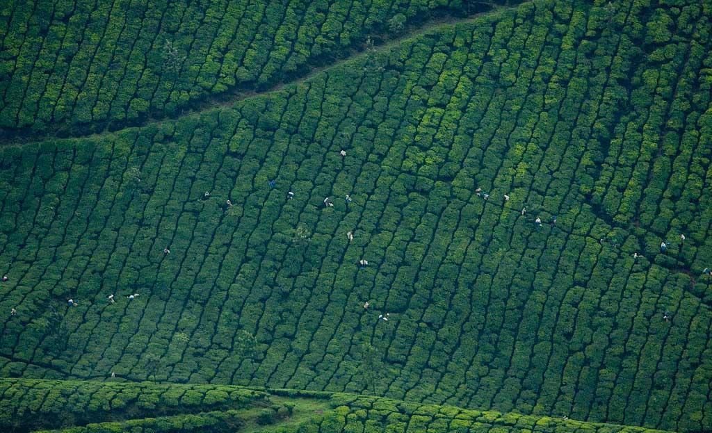 Sky-view-of-munnar-gardens