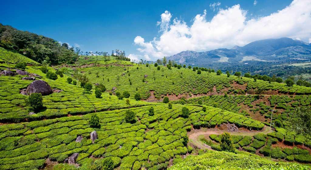 tea garden hills munnar