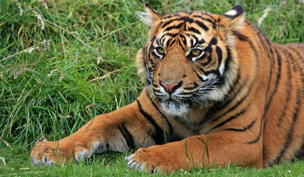 Tiger-in-Mount-Abu-Wildlife-Sanctuary
