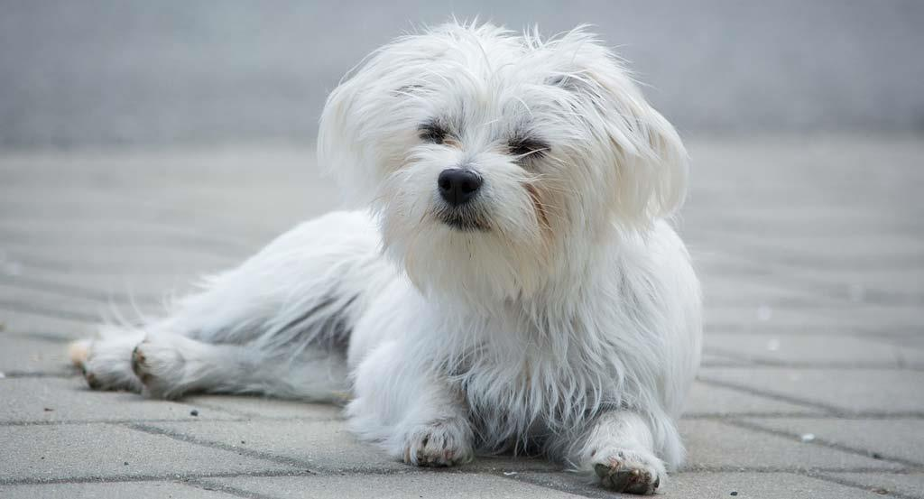 Beautiful-white-small-dog
