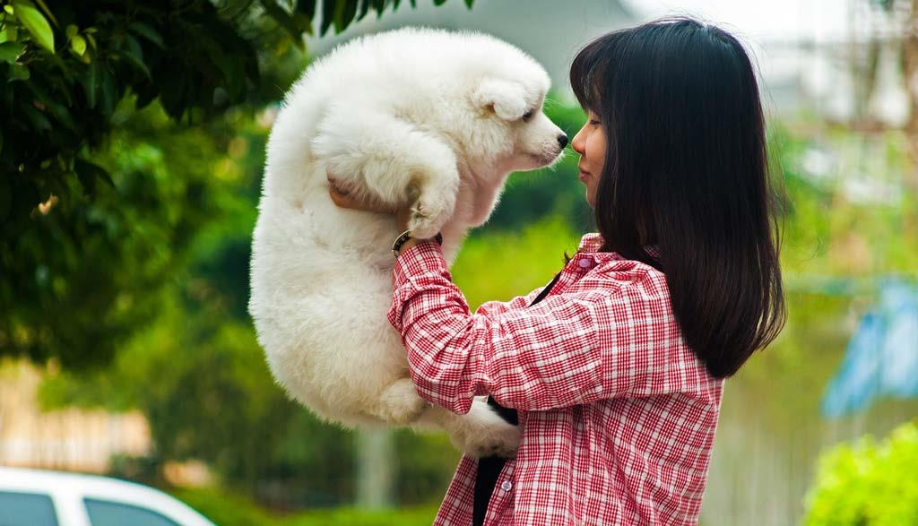 cute white samoyed pet dog with a girl
