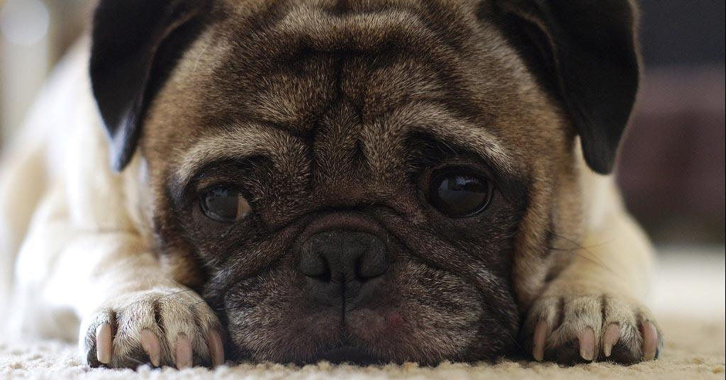 Close-up-of-Pug-Puppy-dog-canine