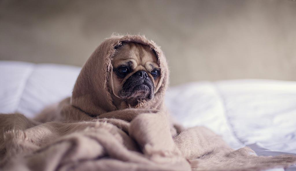 pug-dog-in-bed-with-blanket