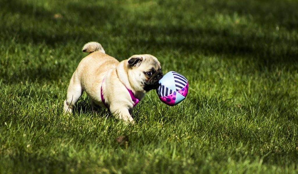 pug-puppy-playing-with-ball