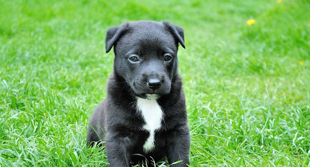 Black young puppy sitting in grass