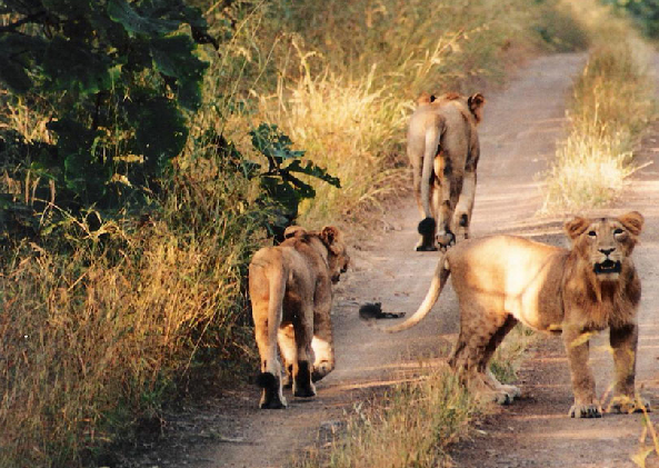 Gir forest National park
