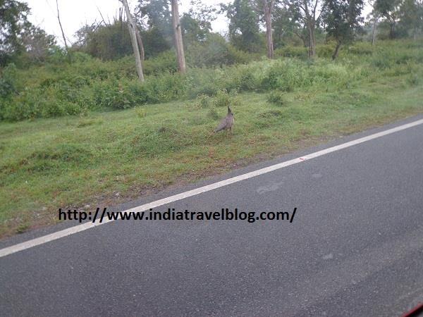 Peacock in Bandipur Karnataka