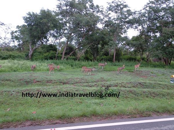 Deer in Bandipur Karnataka