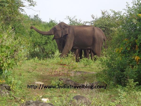 Elephant in Bandipur Karnataka