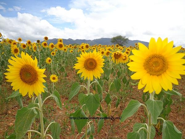 Sunflower in Bandipur Karnataka