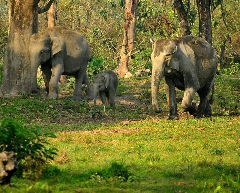 elephant-manas national park