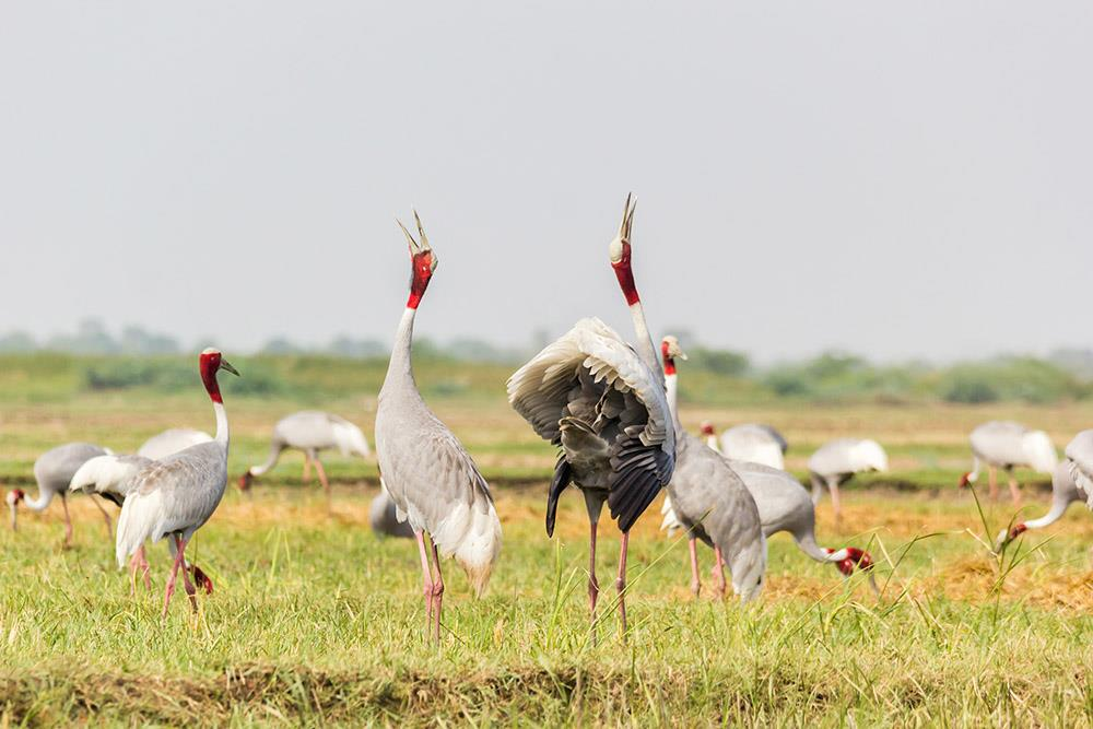 Sarus Crane Keoladeo National Park