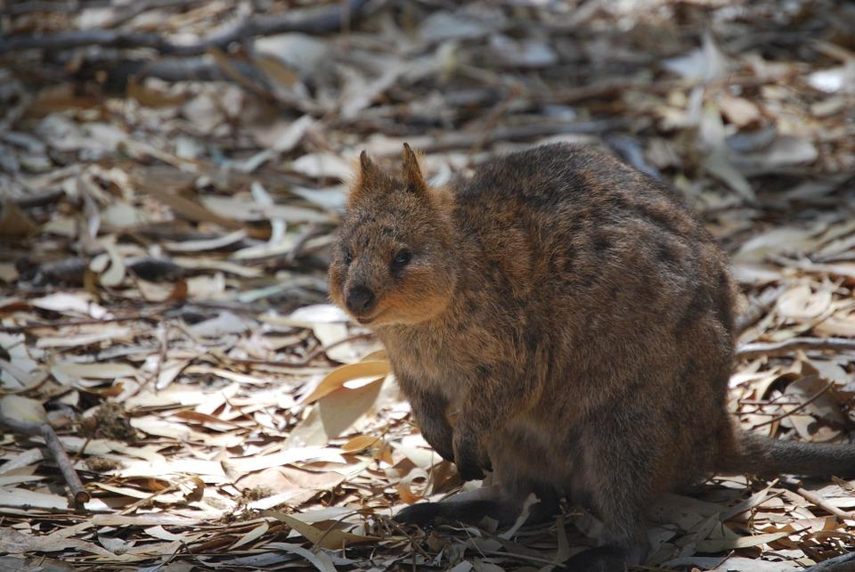 Quokka-Places to visit in Perth