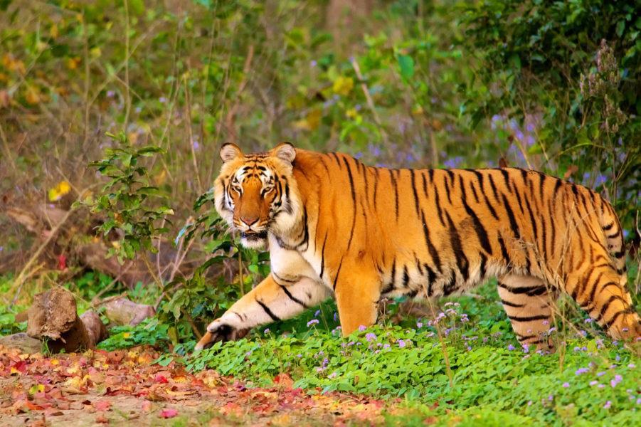 Corbett-tiger-spotting-901x600