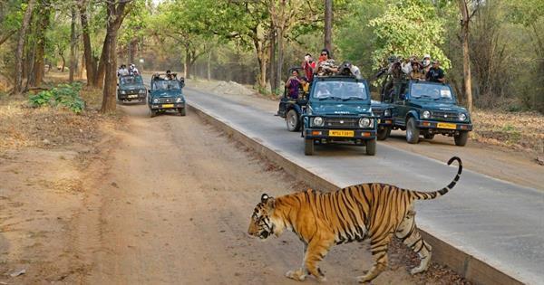 tiger_bandhavgarh
