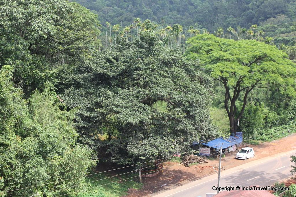 View of Chain Tree from Hotel Wayanad Gate