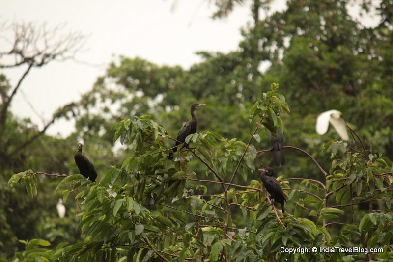 Birds in Kumarakom Bird Sanctuary
