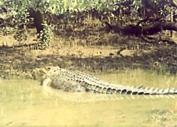 Salt water crocodile in Bhitarkanika National Park