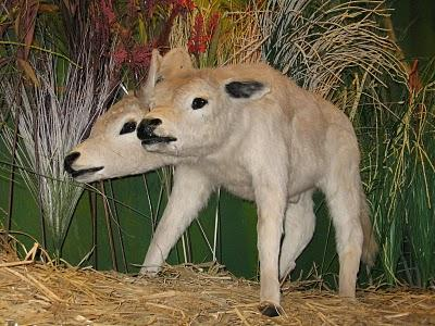 A Two headed calf at Reppleys Believe it or not Museum of Innovative Film City theme park near Bengaluru