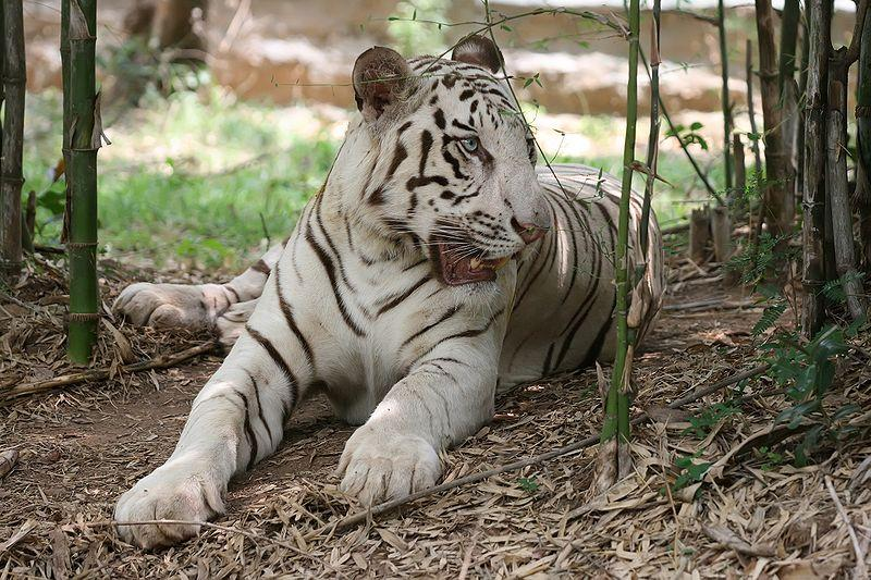 White Tiger at Bannerghatta National park at Bengaluru