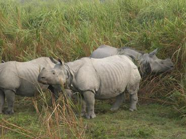 Rhinos in Kaziranga National park