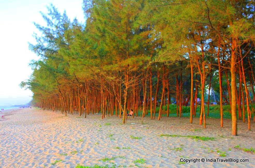 The Casuarina trees in the beach