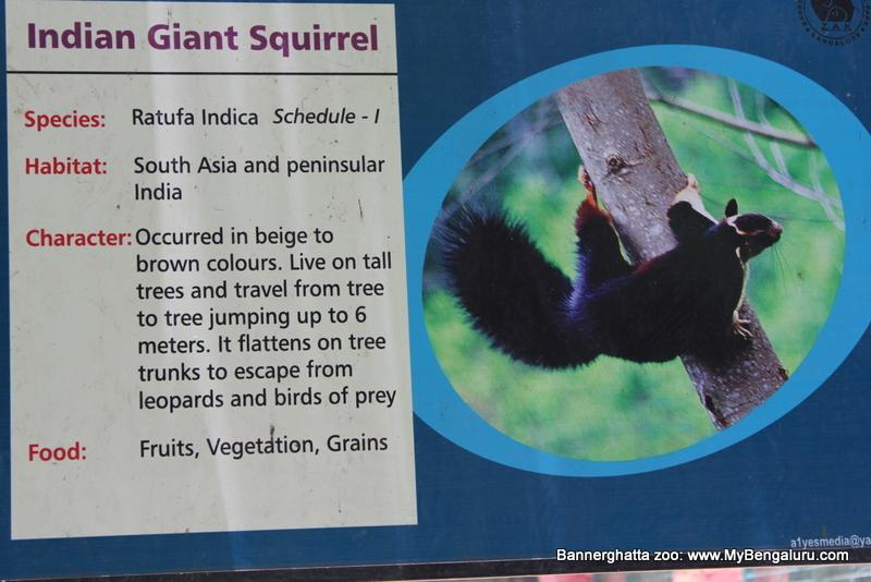 Giant Squirrel