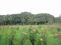 Rose garden in lalbagh botanical garden